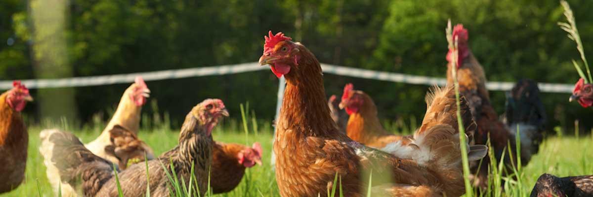 Permalink auf:Täglich frische Weidehuhn-Eier