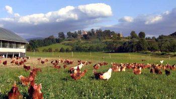 Permalink auf:Eier von Weidehühnern